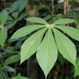 cassava-leaves-for-goat-feed