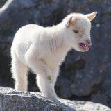 getting-the-goat-female-kid