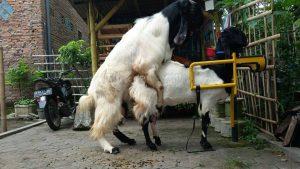 kambing-birahi